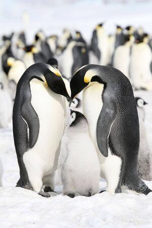 emperor: Emperor penguins (Aptenodytes forsteri) on the ice in the Weddell Sea, Antarctica