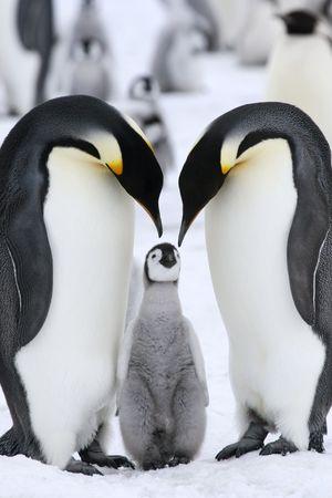 Pingüinos emperador (Aptenodytes forsteri) en el hielo en el mar de Weddell, en la Antártida