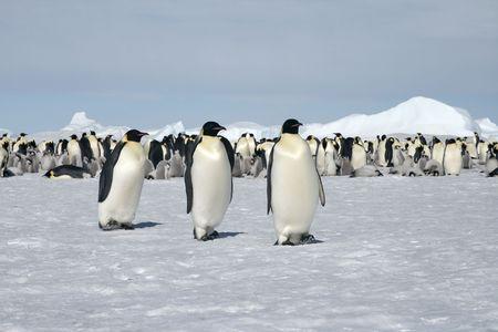 emperors: Emperor penguins (Aptenodytes forsteri) walking on the ice in the Weddell Sea, Antarctica