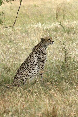 acinonyx: Cheetah (Acinonyx jubatus) in Serengeti National Park, Tanzania