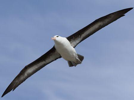 falkland: Black-browed albatross (Diomedea melanophris) flying near Saunders Island, Falkland Islands