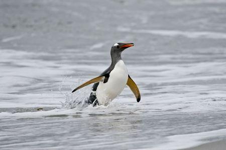 gentoo: Gentoo penguin (Pygoscelis papua) walking onto the beach when returning from a feeding trip to Sea Lion Island, Falkland Islands Stock Photo