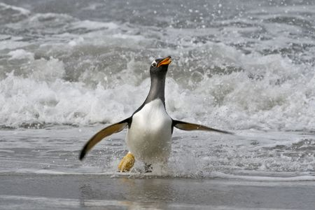 returning: Gentoo penguin (Pygoscelis papua) walking onto the beach when returning from a feeding trip to Sea Lion Island, Falkland Islands Stock Photo