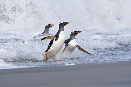 gentoo: Gentoo penguins (Pygoscelis papua) walking onto the beach when returning from a feeding trip to Sea Lion Island, Falkland Islands Stock Photo