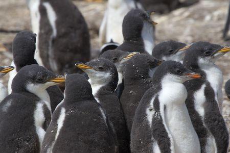guarder�a: Guarder�a de polluelos de ping�ino gentoo (Pygoscelis papua) en la isla de lobos marinos, las Islas Malvinas (Falkland)