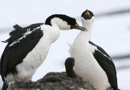 phalacrocorax atriceps: King cormorants (phalacrocorax atriceps) preening on Goudier Island, Antarctica Stock Photo