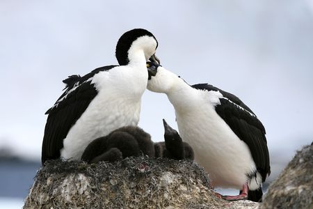 King cormorants (phalacrocorax atriceps) preening on Goudier Island, Antarctica Stock Photo - 5546310