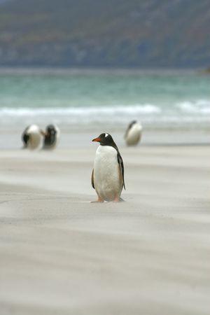 falkland: Gentoo penguin (Pygoscelis papua) sitting on the beach at Saunders Island, Falkland Islands Stock Photo