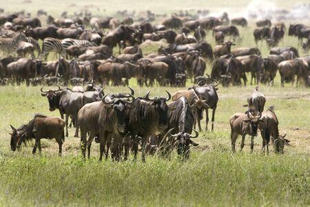 taurinus: Migration of wildebeest (Connochaetes taurinus) in Serengeti National Park, Tanzania