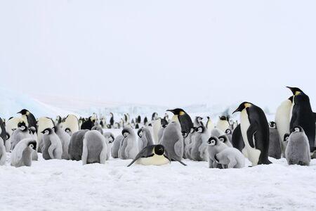emperors: Emperor penguins (Aptenodytes forsteri) on the ice in the Weddell Sea, Antarctica