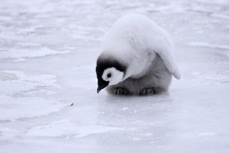 Emperor penguin chick (Aptenodytes forsteri) on the ice in the Weddell Sea, Antarctica Stock Photo - 5698417