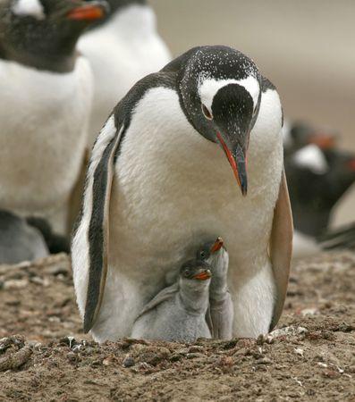 gentoo: Pinguino gentoo (Pygoscelis papua) cura per i suoi pulcini sulle isole Falkland