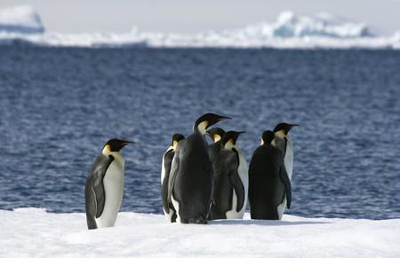 weddell: Emperor penguins (Aptenodytes forsteri) on the ice in the Weddell Sea, Antarctica