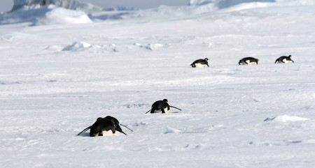 Emperor penguins (Aptenodytes forsteri) sliding on the ice in the Weddell Sea, Antarctica photo