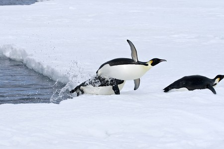 Emperor penguins (Aptenodytes forsteri) jumping out of the water onto the ice in the Weddell Sea, Antarctica photo