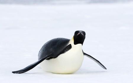 Emperor penguin (Aptenodytes forsteri) sliding on the ice in the Weddell Sea, Antarctica photo