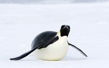 Emperor penguin (Aptenodytes forsteri) sliding on the ice in the Weddell Sea, Antarctica photo