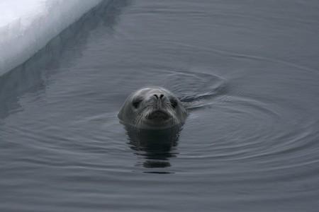 weddell: Weddell seal (Leptonychotes weddelli) in the water in the Weddell Sea, Antarctica Stock Photo
