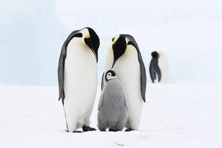 Emperor penguins on the sea ice in the Weddell Sea, Antarctica Stock Photo - 7014666