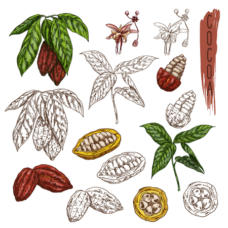Set of isolated cocoa plants with leaf. Cacao sketch or chocolate plant fetus. Coffee packaging or organic food illustration. Branch of drink ingredient,natural and tropical fruit beans. Confectionery Banco de Imagens - 124233553