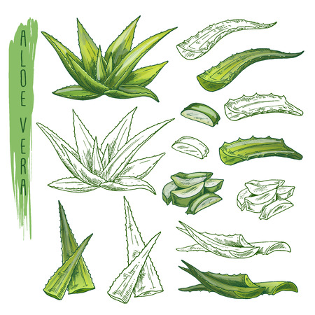 Set of isolated aloe vera sketches and green medicine succulent plants. Cosmetic and alternative medical, serum moisturizer and skincare lotion flora. Organic and nature, herb closeup Ilustração