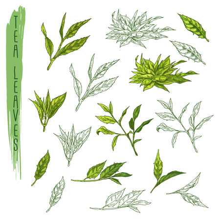 Leaves of tea, branch of plant sketch. Drink
