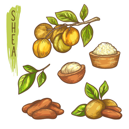 Sketch of shea nut and isolated hand drawn shea butter. Vitellaria paradoxa plant, karite or shi fetus for sheabutter, skincare product and organic lotion, natural soap. Plant with leaf closeup.Nature