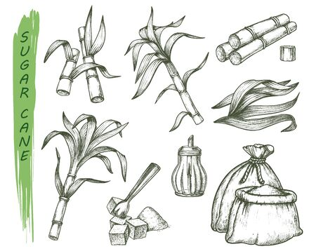 Sugar cane isolated sketch symbols. Engraved tropical plant. Brazil and india island grass culture. Vintage sugarcane redd. Crop or harvest, agriculture and food, cultivate and farmer, nature, natural Illustration