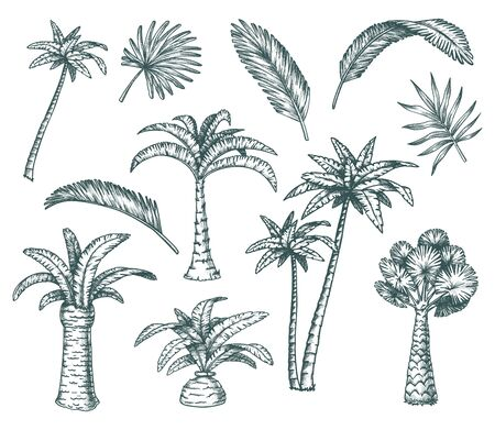 Set of isolated palm sketch, tropical coconut tree 向量圖像