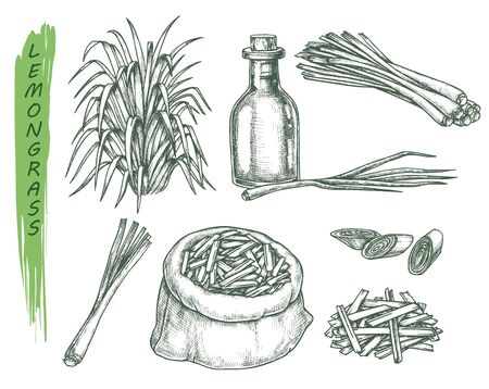 Set of isolated sketches of lemongrass plant