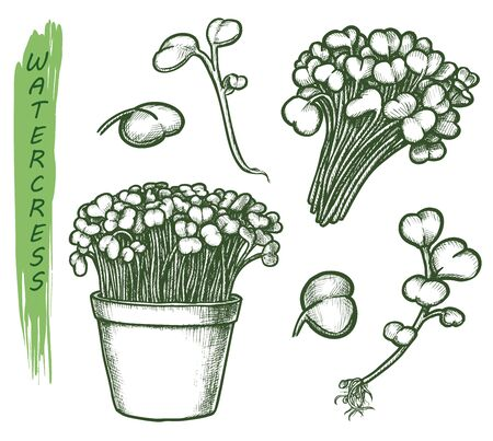 Watercress salad sketch, seasoning herb and botanical vector illustration. Hand drawn garden cress plant leaves in pot, food cooking herbal flavoring design element Vector Illustratie