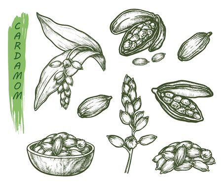 Cardamom herb sketch, seasoning spice and botanical plant vector illustration. Hand drawn cardamom, cardamon or cardamum seeds, vegetarian healthy food and cooking ingredient package design