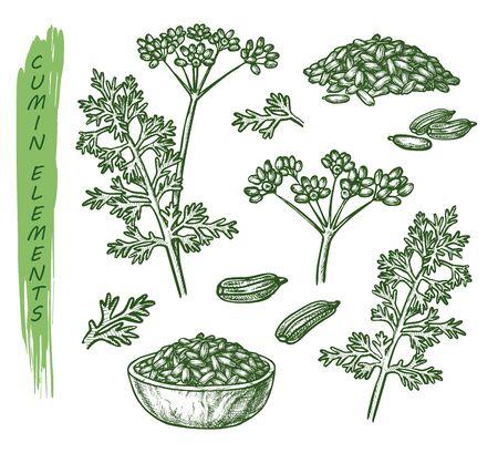 Sketch cumin plant seeds, herb and spice seasoning Ilustracje wektorowe