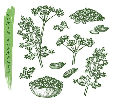 Sketch cumin plant seeds, herb and spice seasoning