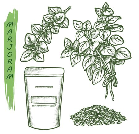 Marjoram sketch, vector cooking herbs and spice seasonings package design. Hand drawn marjoram plant leaves and seeds, herbal condiments, flavoring and spice ingredients botanical illustration
