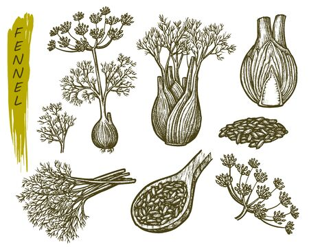 Fennel sketch, vector cooking herbs and spice seasonings. Hand drawn fennel plant and leaf elements, herbal condiments, flavoring and spice ingredients, botanical illustration plant design Vektorgrafik