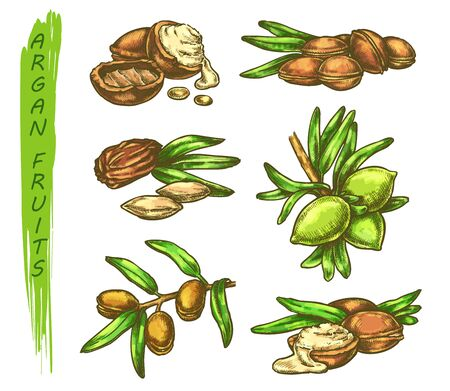Vector sketch of argan fruits in color