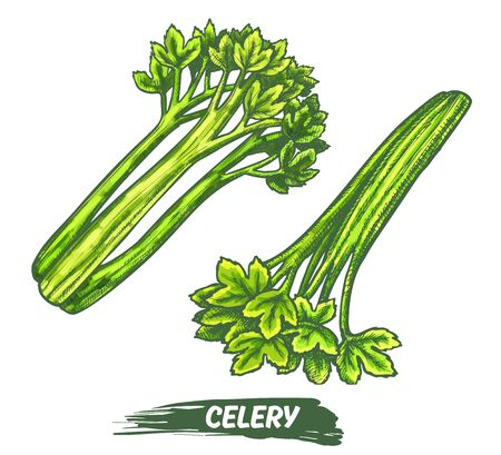 Celeriac herb plant elements, celery vector sketch