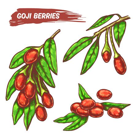 Branches with Goji berries, colorful set in line