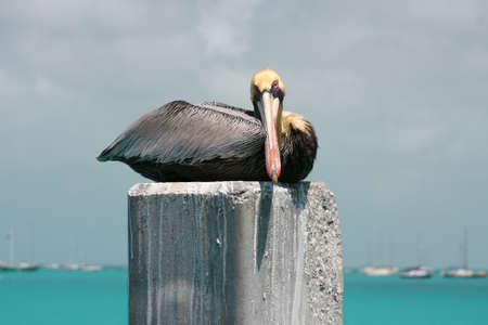 key: Pelican In Key West Stock Photo