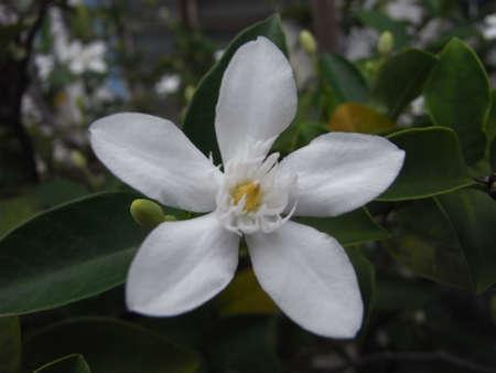 티아레 꽃
