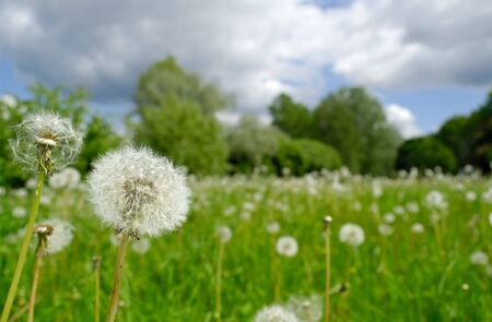 Field of dandelions photographed summer cloudy day against the background a forest. Focus on foreground.