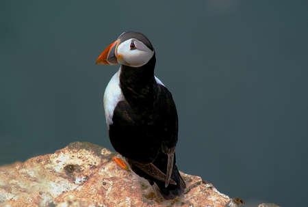 r image: DSC 0601 Puffin Maschio alla riserva RSPB, Cliffs Bempton, immagine Scarborough prelevati durante la stagione di allevamento