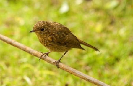 juvenile: juvenile robin Stock Photo