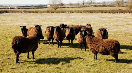 A small flock of Jacobs Sheep Stock Photo - 18904482