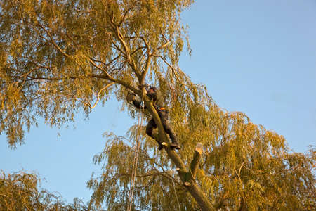 tree works: A tree surgeon,one of a team of foresters works on the outer branches of  a large and dangerous willow tree that was being cut down