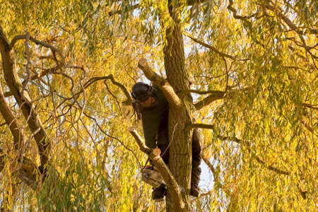 tree works: A tree surgeon,one of a team of foresters works on the outer branches that formed part of a large and dangerous willow tree
