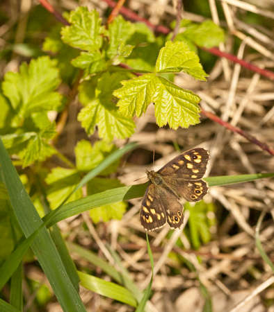 speckled wood: A Speckled Wood butterfly, sub species,P a tircis rests in the dappled sunlight of a hedgerow  This attractive butterfly flies March  October and is found in woods and other shady places    Stock Photo