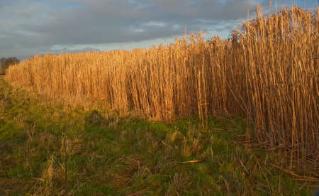 feedstock: The low winter sunshine casts a golden glow on a crop of Elephant grass.Miscanthus (commonly known as Elephant Grass)is a high yielding energy crop that grows over 3 metres tall,resembles bamboo and produces a crop every year without the need for replanti