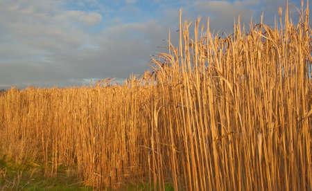 feedstock: Miscanthus,(commonly called Elephant Grass )is a high yeilding energy crop that grows over 3 metres tall,resembles bamboo and produces a crop every year without the need for replanting.